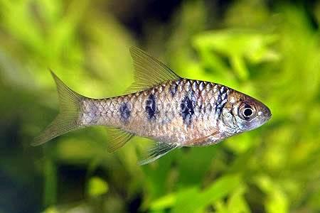 Картинки по запросу Barbus sahyadriensis