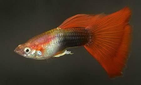 рыбки самки гуппи фото