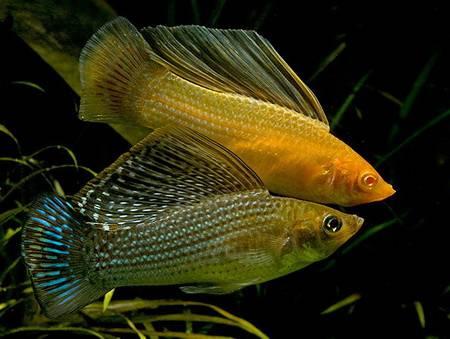 http://aqua-fisher.narod.ru/Vid/CHARACID/FOTO/Mollinesia_velifera.jpg