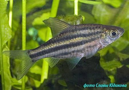 http://aqua-fisher.narod.ru/Vid/CHARACID/FOTO/Puntius_lineatus03.jpg