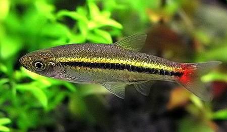 http://aqua-fisher.narod.ru/Vid/CHARACID/FOTO/Rasbora_borapetensis03.jpg