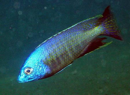 Картинки по запросу Nyassachromis breviceps