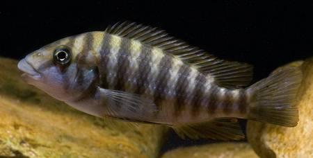 Картинки по запросу Placidochromis macrognathus