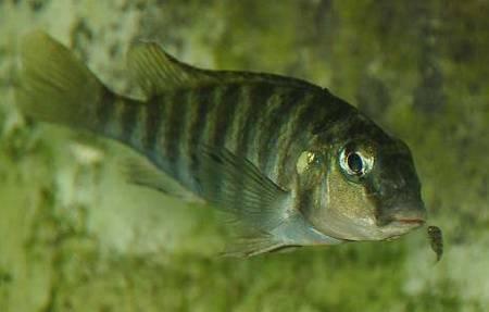 Simochromis pleurospilus (Nelissen, 1978 ...