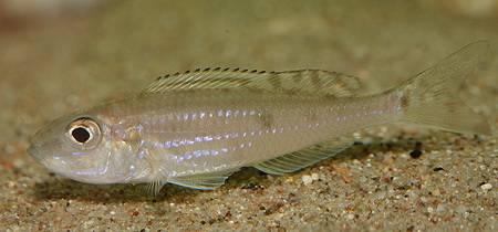 Картинки по запросу Microdontochromis tenuidentatus