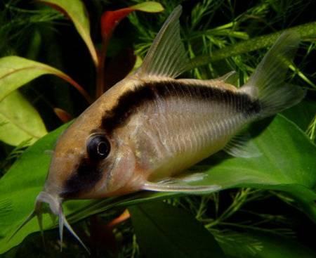 http://aqua-fisher.narod.ru/Vid/SILUROID/FOTO/Corydoras_arcuatus.jpg